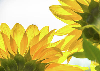 Photograph - Sunflower Petals by Cheryl Baxter