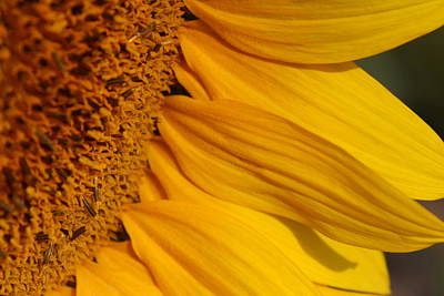 Photograph - Sunflower Petals by Fiona Kennard