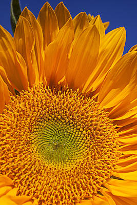 Photograph - Sunflower Petals by Garry Gay