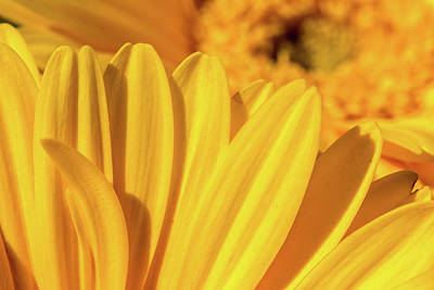 Photograph - Sunflower Petals II by SR Green