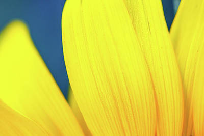 Photograph - Sunflower Petals IIi by SR Green