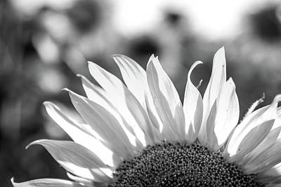 Photograph - Sunflower Petals In Black And White by Anthony Doudt