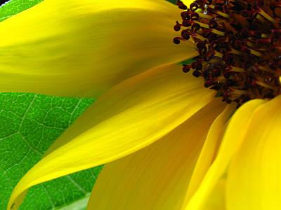 Sunflower Petals Art Print by Juergen Roth