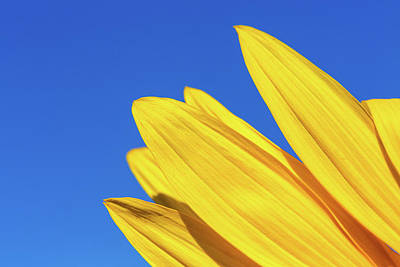 Photograph - Sunflower Petals by SR Green