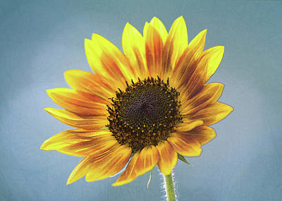 Photograph - Sunflower Photo Sketch by Patti Deters