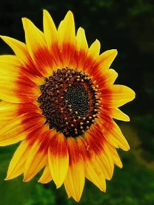 Photograph - Sunflower Plant by Sheila Mcdonald