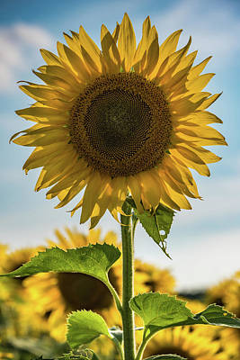 Photograph - Sunflower Portrait by Anthony Doudt