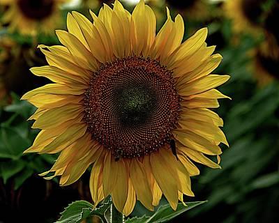 Photograph - Sunflower Portrait by Karen McKenzie McAdoo