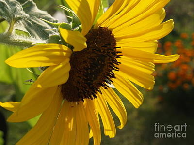 Sunflower Profile Art Print by Anna Lisa Yoder