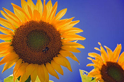 Photograph - Sunflower Radiance by Rick Berk