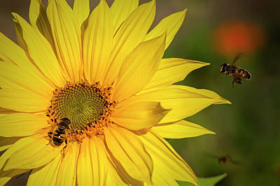 Photograph - Sunflower by Randy Hall