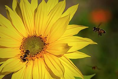 Photograph - Sunflower by Randy Hall