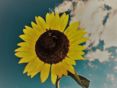 Photograph - Sunflower by Randy Sylvia