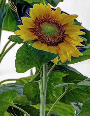 Photograph - Sunflower by Ree Reid