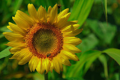 Photograph - Sunflower by Richard Engelbrecht