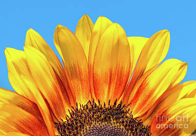 Photograph - Sunflower Rise by Mimi Ditchie