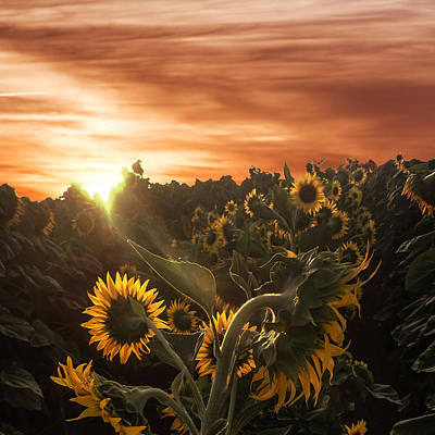 Photograph - Sunflower Rise by Wes Jimerson