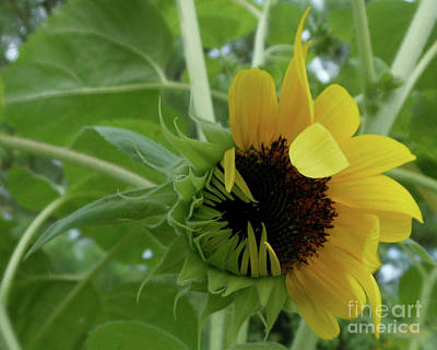 Photograph - Sunflower Rising by Kristin Aquariann