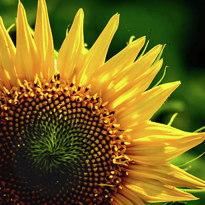 Photograph - Sunflower by Robert Mitchell