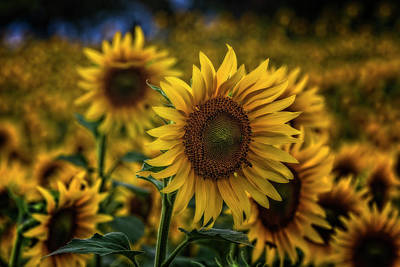 Photograph - Sunflower by Roberto Pagani