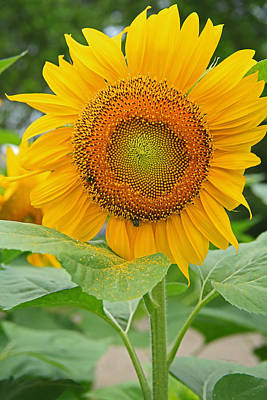 Photograph - Sunflower by Ronald Olivier