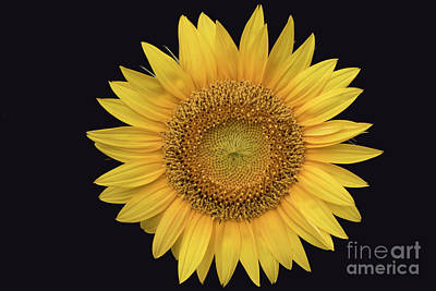 Photograph - Sunflower by Ron Sadlier