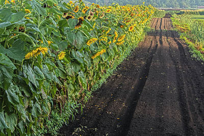 Photograph - Sunflower Row At Sunrise by Angelo Marcialis
