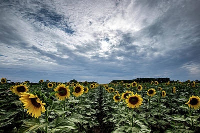 Photograph - Sunflower Rows by Chris Harris