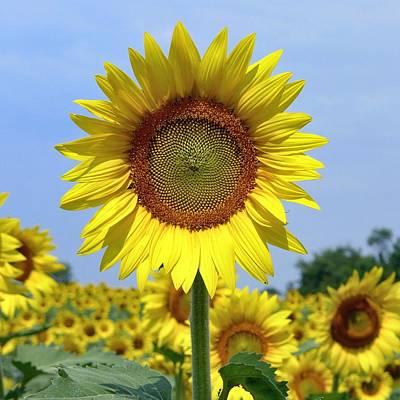 Photograph - Sunflower by Ryan Shapiro