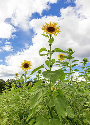 Sunflower Salute Print by Brian Manfra