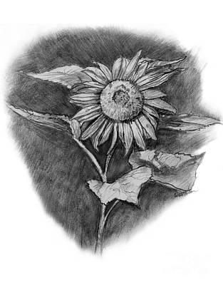 Sunflowers Drawings - Sunflower by Scott Parker