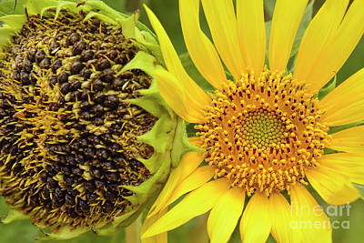 Photograph - Sunflower Seed Pods by Olga Hamilton