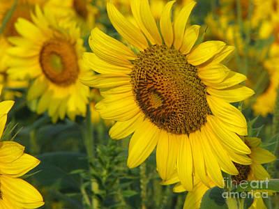 Sunflower Series Print by Amanda Barcon