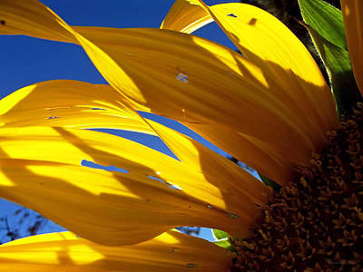 Photograph - Sunflower Shadows by Harold Zimmer