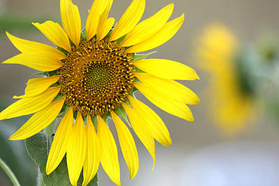 Art Print featuring the photograph Sunflower by Sheila Brown