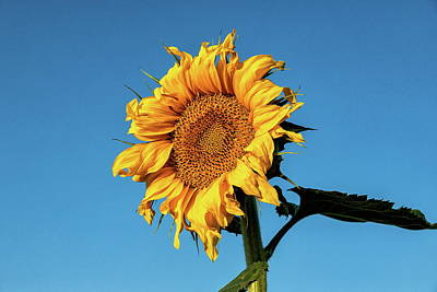 Photograph - Sunflower Shining Against The Blue Sky by Tony Hake