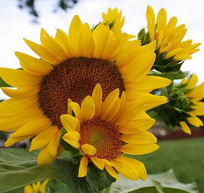 Photograph - Sunflower Show by Bruce Bley