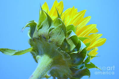 Photograph - Sunflower Showing True Color by Mary Deal