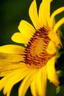 Photograph - Sunflower Side Light by Buddy Scott