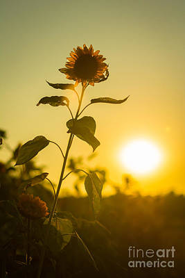 Sunflower Silhouette Art Print by Alissa Beth Photography