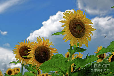 Photograph - Sunflower Sisters by Paul Mashburn