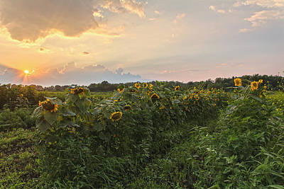 Photograph - Sunflower Skies by Angelo Marcialis