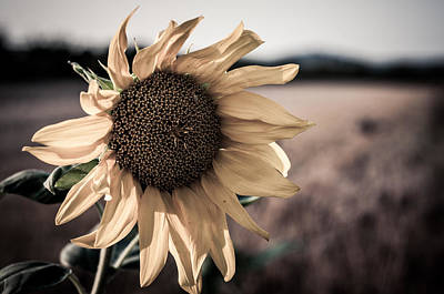 Photograph - Sunflower Solitude by Miguel Winterpacht