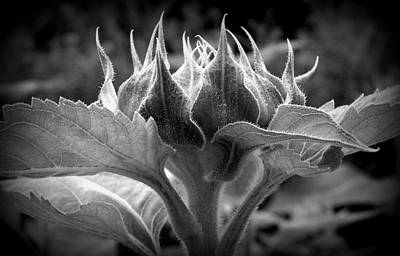 Photograph - Sunflower Soon To Bloom by Susie Weaver