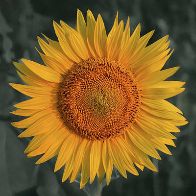 Photograph - Sunflower - Square by Nikolyn McDonald