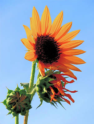 Sunflower - Stages Of Growth Art Print