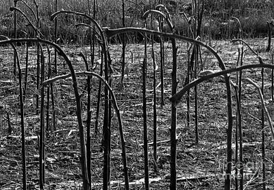 Photograph - Sunflower Stalks by Ethna Gillespie