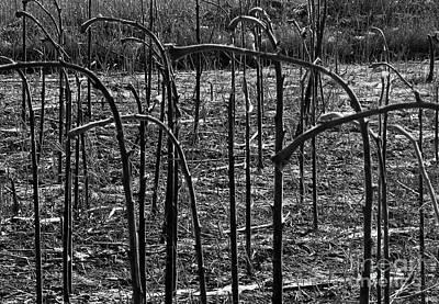 Photograph - Sunflower Stalks by Ethna Gillespie