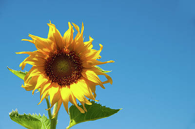 Photograph - Sunflower by Steve Stuller