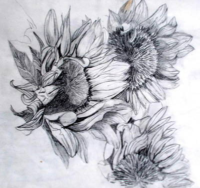 Florals Drawings - Sunflower Study by Nicole Curreri